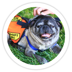 PROS Solano Pug Adoption Fair