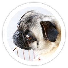 4 Pugs Adopted!