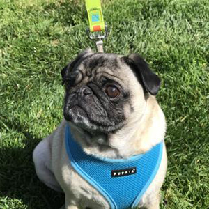 Pugsby was adopted!